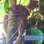 AN ENCOUNTER WITH THE BOHOL TARSIERS